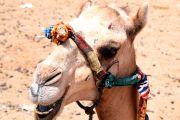 Kamelreiten in Theben west